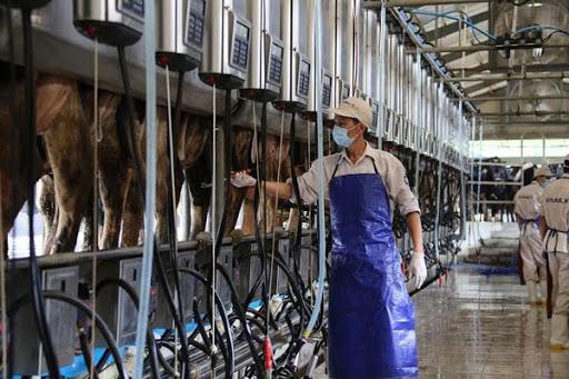 Công việc chăn nuôi bò sữa