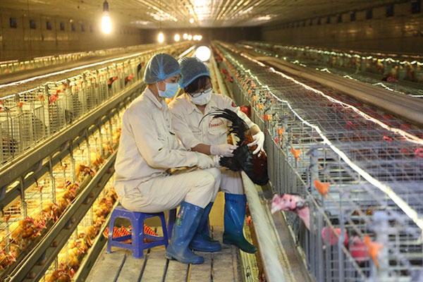 Công việc chăn nuôi gà