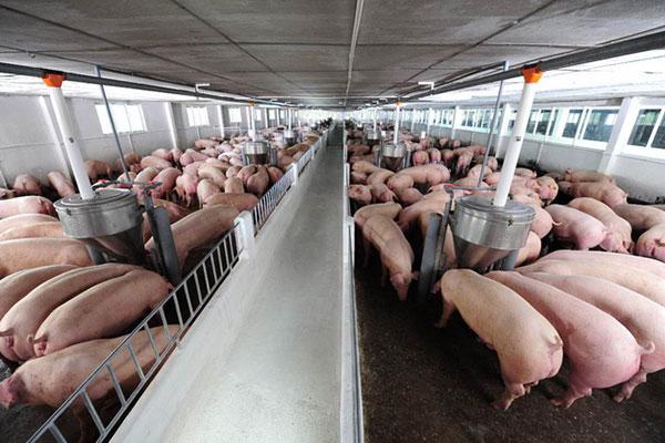 Công việc chăn nuôi lợn