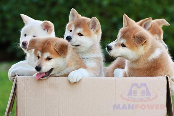 các giống chó nhật được yêu thích