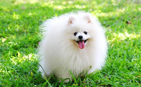Chó phốc Nhật Bản lông xù