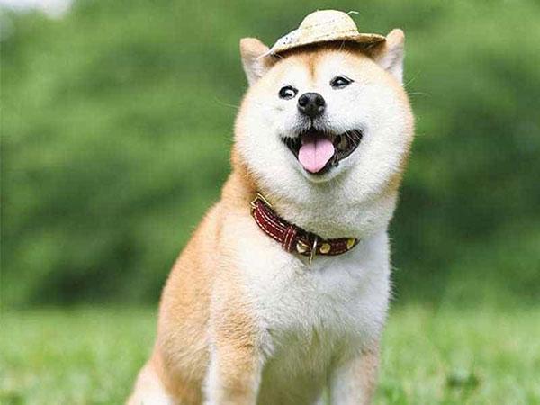 Giống chó Shiba Inu