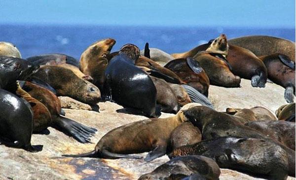Đảo hải cẩu – Nam Phi