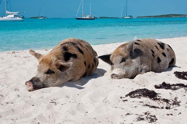 Đảo heo – Bahamas