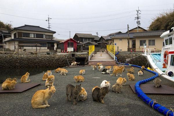 Đảo mèo Tashirojima – tỉnh Miyagi