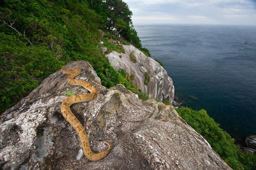 Đảo rắn Ilha de Queimada Grande – Brazil