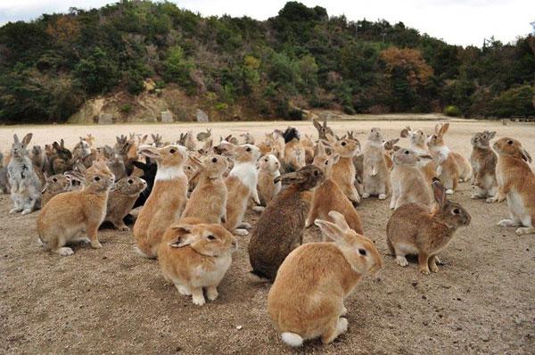 Đảo thỏ - Okunoshima, Nhật Bản