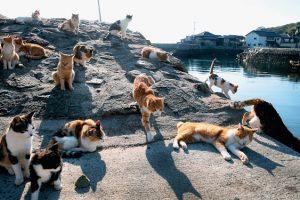 """Đảo mèo ở Nhật – """"Thánh Địa"""" nổi tiếng dành cho loài mèo"""
