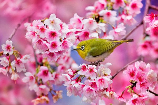 Nhật Bản mùa hoa anh đào có gì đặc biệt