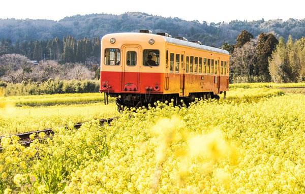 Vườn hoa cải Ishigami