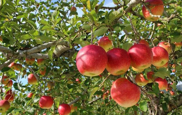 Vườn táo tỉnh Aomori Nhật Bản